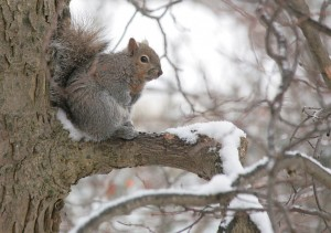 Squirrel on the tree, wintertime