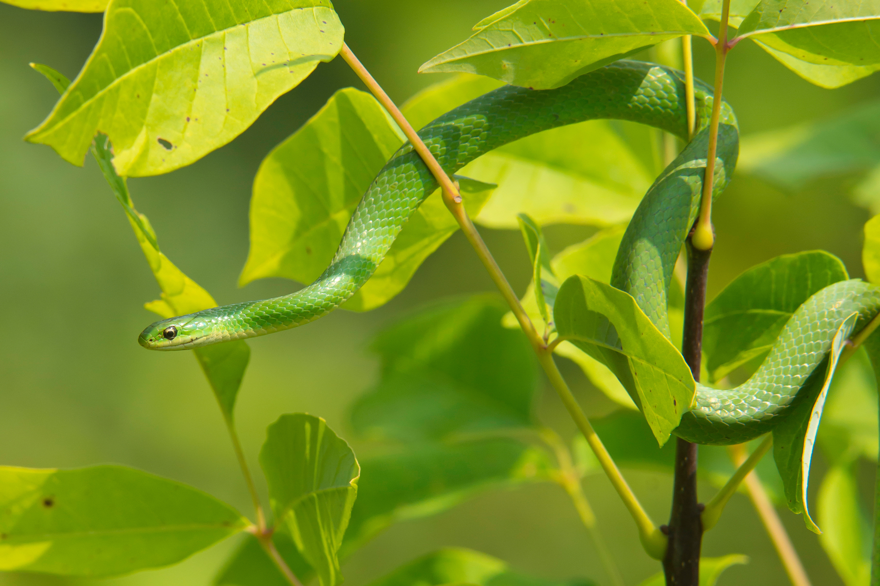Smooth Green Snake. Photo by Mike Weissmann